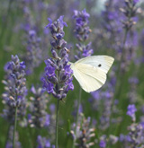 Small White on Lavender