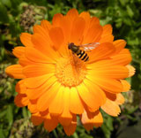 Marigold and hoverfly