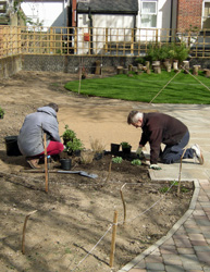 Planting herbaceous perennials