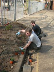Planting Winter Savory outside the garden gate